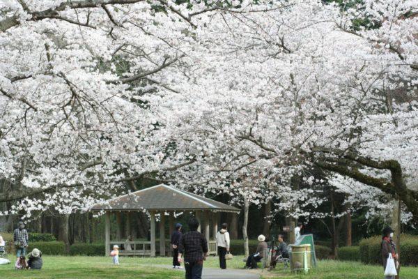 泉自然公園 桜