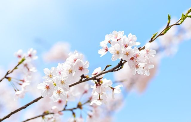 千葉市桜の名所やおすすめの穴場情報!2019年のお花見イベントと開花予測も